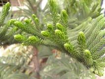 Много малых зеленых листьев хвои завода ели стоковые фото