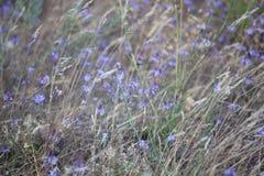 Много малых пурпуровых одичалых цветков Стоковые Изображения