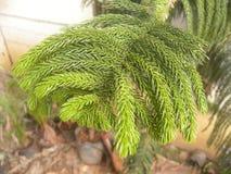 Много малых coniferous листьев завода ели стоковое фото