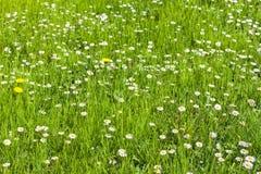Много маргаритки в яркое ом-зелен трава Стоковая Фотография