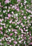 Много маленький пинк гипсофилы цветет предпосылка Стоковые Изображения