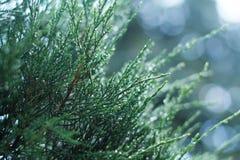 Много малых ветвей ели Стоковые Фото