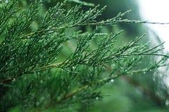 Много малых ветвей ели Стоковые Фотографии RF