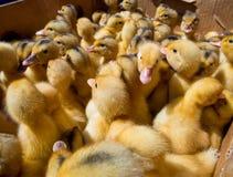 Много малых утят в коробке на рынке птицы Стоковая Фотография