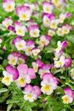 Много малых фиолетовых цветков pansy Стоковая Фотография RF