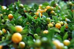 Миниые деревья tangerine Стоковое фото RF