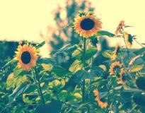 Много молодые солнцецветы стоковые фотографии rf