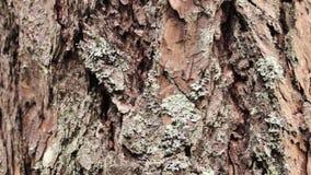 Много муравьев, который побежали на коре дерева field вал конец вверх видеоматериал