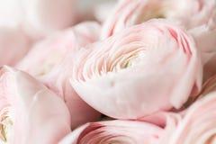 Много наслоенных лепестков Перский лютик Пук бледный - розовый лютик цветет светлая предпосылка обои, горизонтальное фото Стоковое Фото