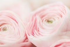 Много наслоенных лепестков Перский лютик Пук бледный - розовый лютик цветет светлая предпосылка обои, горизонтальное фото Стоковое фото RF