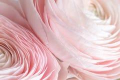 Много наслоенных лепестков Перский лютик Пук бледный - розовый лютик цветет светлая предпосылка обои, горизонтальное фото Стоковые Изображения RF