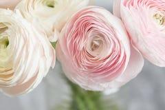 Много наслоенных лепестков Перский лютик Пук бледный - розовый лютик цветет светлая предпосылка обои, горизонтальное фото Стоковое Изображение RF