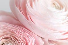 Много наслоенных лепестков Перский лютик Пук бледный - розовый лютик цветет светлая предпосылка обои, горизонтальное фото Стоковые Фото