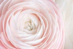 Много наслоенных лепестков Перский лютик Пук бледный - розовый лютик цветет светлая предпосылка обои, горизонтальное фото Стоковые Изображения