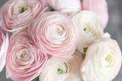 Много наслоенных лепестков Перский лютик Пук бледный - розовый лютик цветет светлая предпосылка обои, горизонтальное фото Стоковые Фотографии RF