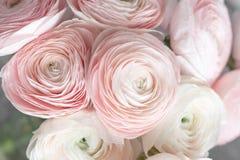 Много наслоенных лепестков Перский лютик Пук бледный - розовый лютик цветет светлая предпосылка обои, горизонтальное фото Стоковое Изображение