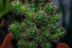 Много небольшие кактусы стоковое изображение rf