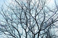 Много обнаженных, темных безлистных ветвей дерева осени делая графический силуэт хворостин вверх против холодного голубого неба - стоковое изображение rf