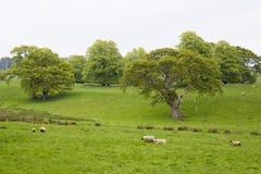 Много овец в зеленом луге в Ирландии Стоковое Фото