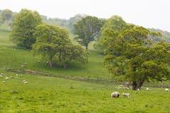Много овец в зеленом луге в Ирландии стоковое изображение