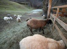 Много овец с длиной упали Стоковое Фото