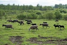 Много овцы пася Стоковое Изображение