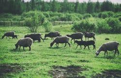 Много овцы пася Стоковые Фотографии RF