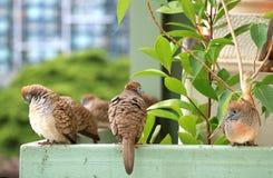 Много одичалый голубь зебры ослабляя счастливо на балконе Стоковые Изображения RF