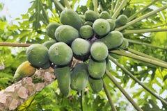Много органическая папапайя на дереве Стоковые Изображения RF