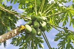 Много органическая папапайя на дереве Стоковые Фотографии RF