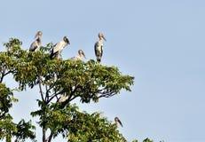 Много открыт-представили счет птица аиста na górze дерева под голубым небом Стоковое Фото