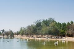 Много одичалые птицы плавая в озере Стоковое Изображение RF