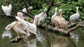 Много пеликанов видеоматериал