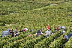 Много подборщиков виноградин в Cramant Франции Стоковая Фотография RF