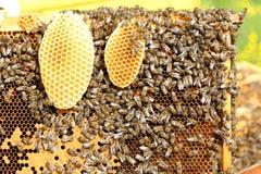 Много пчел меда стоковая фотография