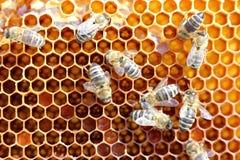 Много пчелы меда Стоковое Изображение