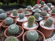 Много различных видов малых заводов кактусов в цветочных горшках стоковая фотография