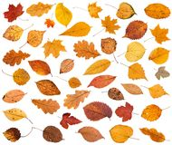 много различных высушенных изолированных листьев упаденных осенью Стоковое Изображение