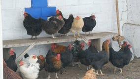 Много различных курицы, петухи и цыплят сидя в сельском дворе на стенде или на земле в снеге зимы точном летают мимо сток-видео
