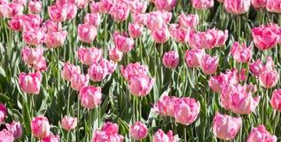 Много розовых тюльпанов в flowerbed Стоковое Изображение RF