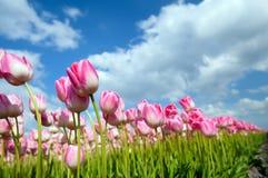 Много розовых тюльпанов на поле Стоковые Изображения
