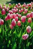 Много розовых тюльпанов под солнечным светом утра в парке Стоковое Фото