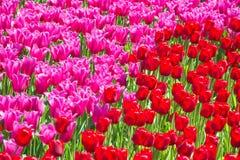Много розовых тюльпанов Стоковые Изображения RF