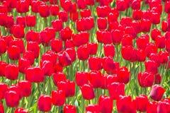 Много розовых тюльпанов Стоковое Изображение
