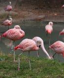 много розовых фламинго отдыхают на пруде Стоковое фото RF