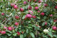 Много рудоразборка яблока в дереве paulared здоровый органический плодоовощ Стоковая Фотография RF