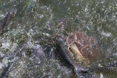 Много рыбы в реке Стоковые Изображения