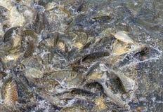 Много рыб балуют еду Стоковая Фотография
