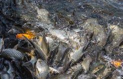 Много рыб балуют еду Стоковые Изображения RF