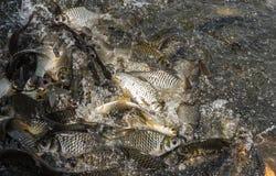 Много рыб балуют еду Стоковая Фотография RF
